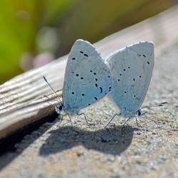 Vlinderstrikje
