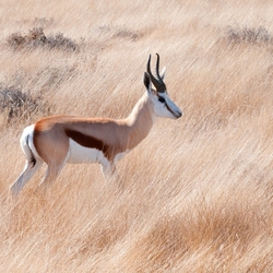 Springbok in het veld