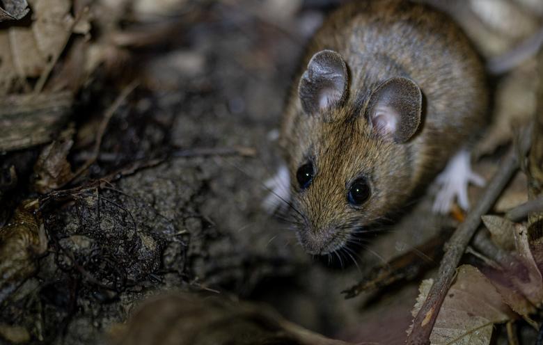 De muis - Had ze al vaak in het licht van de zaklamp gezien dus al een paar avonden met de camera op jacht,,,,gelukt.