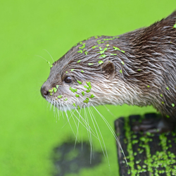 Otter in green
