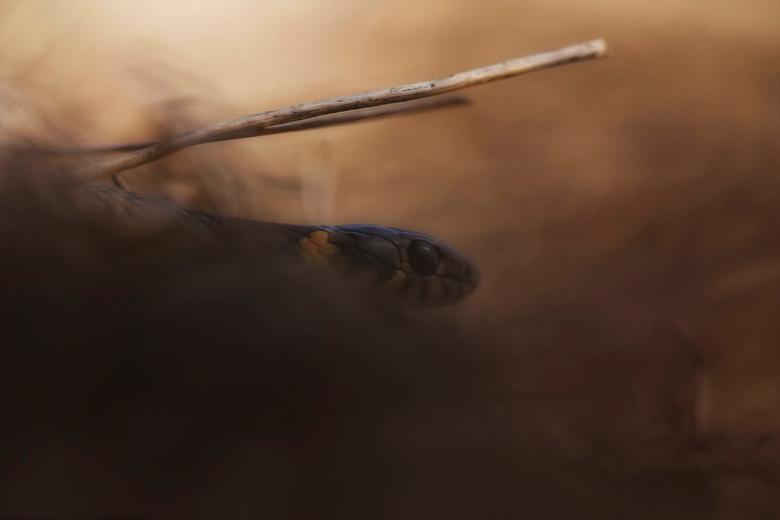 The hunter - Wat zijn ze mooi maar o zo lastig om te fotograferen. Na ruim 6 uur vier mooie foto's kunnen maken. De foto is gemaakt in Nederland