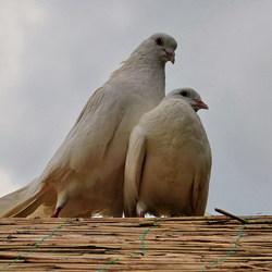 Vogel serie 182.duiven.