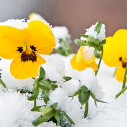Sneeuwviool