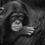 Baby Chimp Kibibi portrait