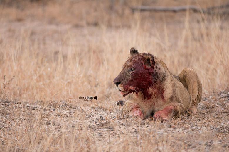 Na de maaltijd - In Zuid-Afrika hadden net 2 leeuwinnen een buffel gevangen. Deze leeuwin was net even aan het uit buiken.
