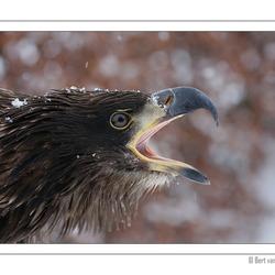 Screaming Bald Eagle
