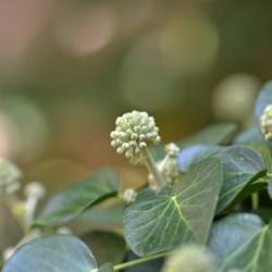 Klimop in de tuin