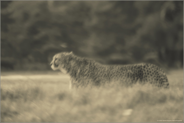 Jachtluipaard  - Het jachtluipaard ook wel cheeta genoemd is het snelste landdier op onze aardbol. In een korte sprint kan deze katachtige snelheden b