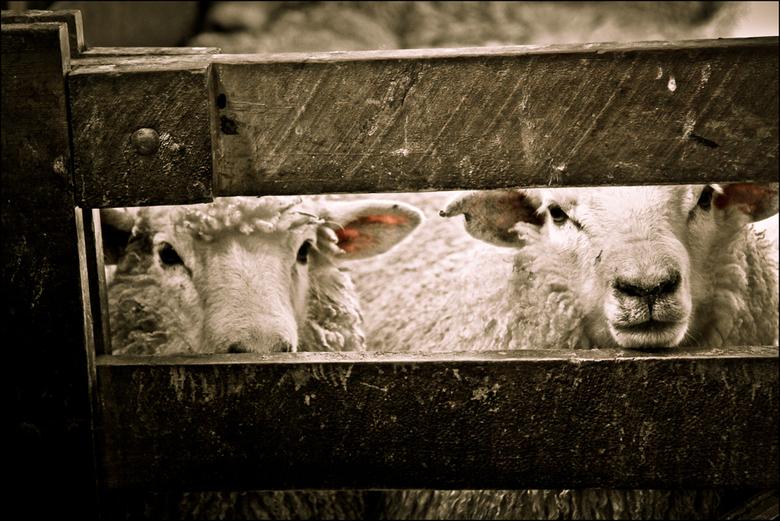 Almost time to sheer. - Nieuw Zeelandse schapen wachten gespannen op hun scheer beurt.