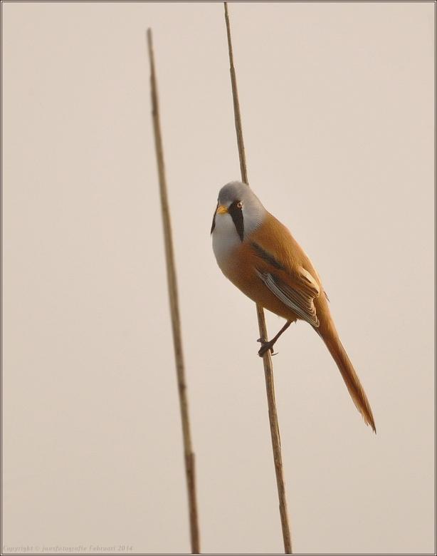 baardmannetje - bedankt voor de rea op m,n vorige opname <br /> die Boerenzwaluw<br /> <br /> wens ieders een heel fijn weekend gr jans.<br /> <br