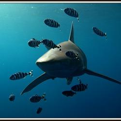 Oceanic Whitetip met loodsvissen