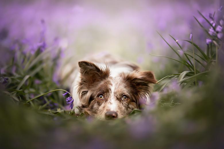 Wilde hyacinten -