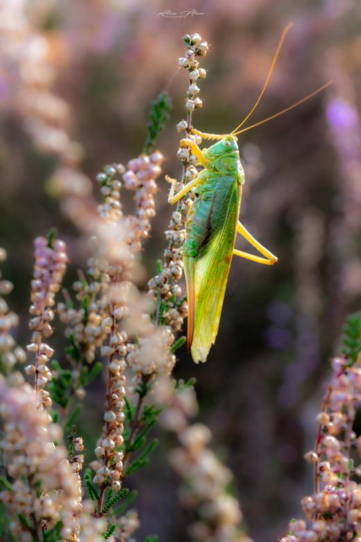 """Grasshopper - Sprinkhaan tussen de struikheide in mooie zachte kleuren <img  src=""""/images/smileys/wilt.png""""/>"""
