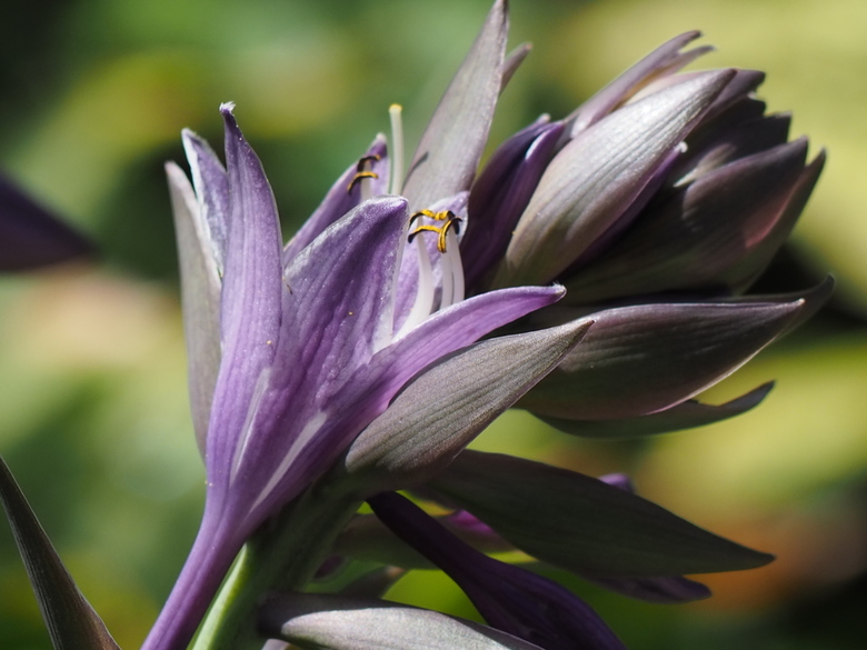 hostabloem closeup - close-up van ontluikende bloem in Hosta