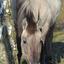 Konikpaard