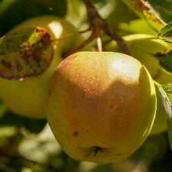Appels.......