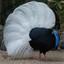 Bulwers fazant