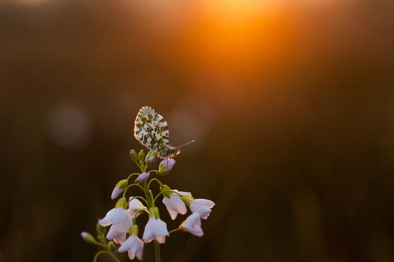 oranjetip in zonsondergang