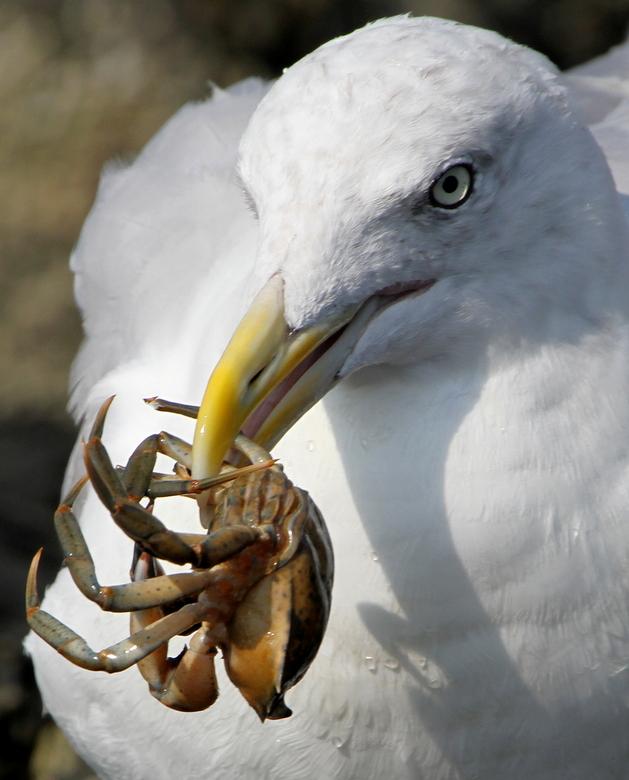 Crab, it's dinnertime....