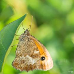 Oranje Zandoogje