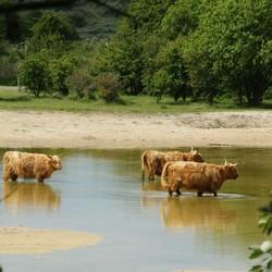 Schotse hooglanders (2)