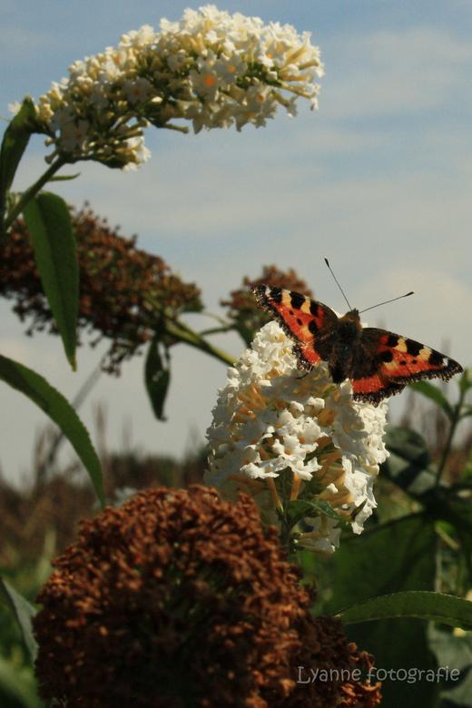 vlinder - vlinder op de vlinderstruik