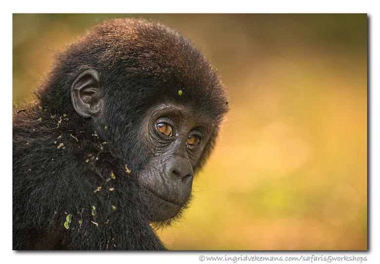 Little Red Head - De volwassen berggorilla's zijn indrukwekkend, de baby's met hun nog rosse haartjes gewoonweg vertederend. Deze vedette st