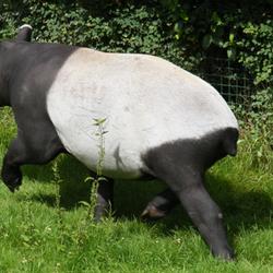 Tapir 2