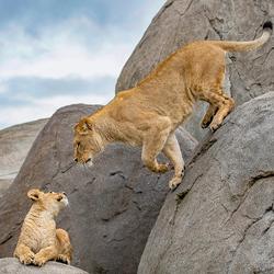 Leeuwenwelpje met moeder