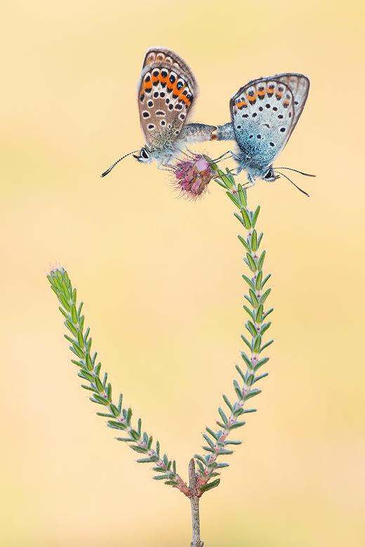 Love on Top! - Deze Heideblauwtjes hadden een prachtig plekje uitgekozen om voor nageslacht te zorgen.<br /> <br /> Iedereen een fijn weekend en bed
