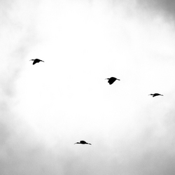 ibis 5x