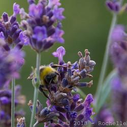 Bijen op de lavendel