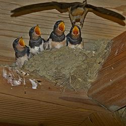boerenzwaluwen 23--17 breebaartpolder #