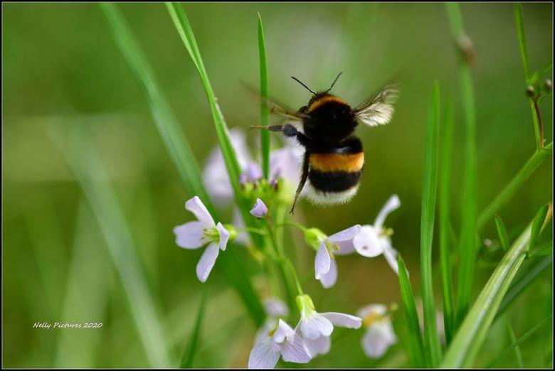 Maar het is weer gelukt - Maar wanneer je lang genoeg blijft proberen, dan vang je de hommel een keer terwijl hij tussen twee bloempjes vliegt.