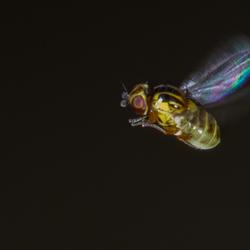 halmvliegje in vlucht