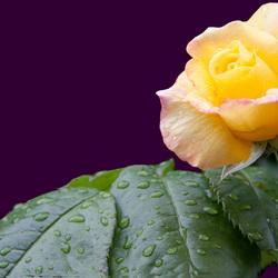 Roos in de regen
