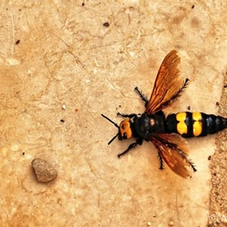Mommoth wasp(megascolia)