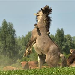 Konikpaarden.