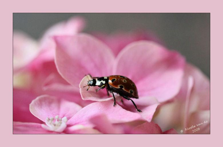 Oogvleklieveheersbeestje  VI - Wat een lastig model, ren, vlieg, ren, vlieg.  Neemt geen seconde de tijd om even rustig te zitten.  Alles wordt bekeke