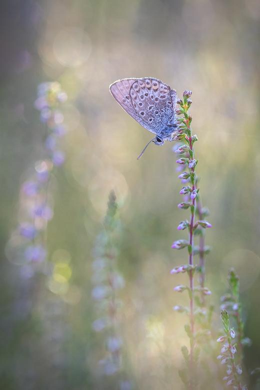 Uitrusten op de bloeiende hei  - De hei begint hier en daar al in bloei te raken. Dit vlindertje had een mooi rustplaatsje uitgekozen.<br /> <br />