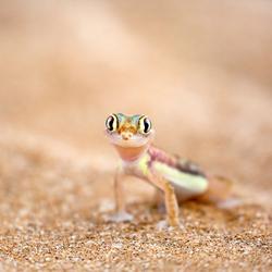 Woestijngekko (Ppachydactylus rangei)