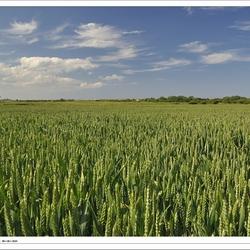 Groen graanveld in Norfolk
