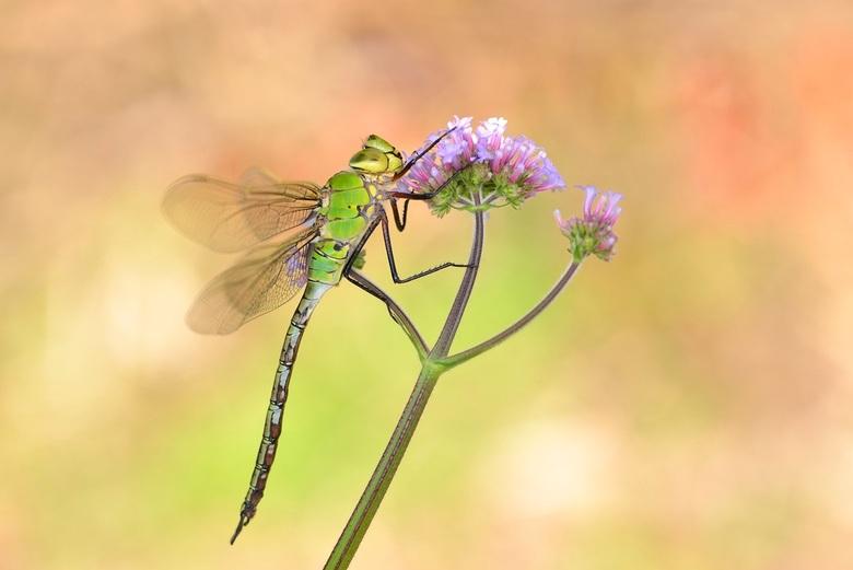 colours - deze mooie keizerlibel hing bij mij in de tuin.