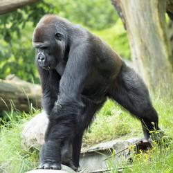 gorilla/jong mannetje