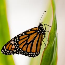 Monarchvlinder (Danaus plexippus)