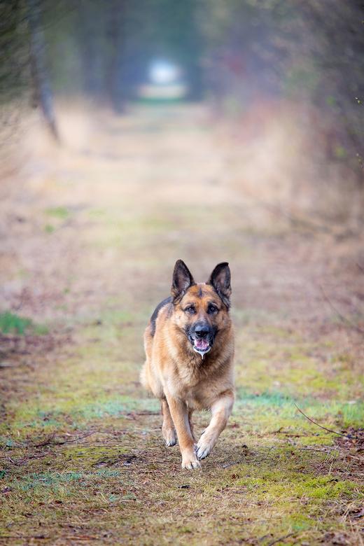 the king van het bos... - Tijdens mijn wandeling door het mooie bargerveen zag ik een -voor daar- niet alledaags dier wandelen.  Hij rook waarschijnli
