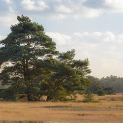 Denneboom op de Hoge Veluwe