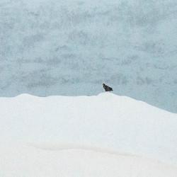 Zeearend in de sneeuw