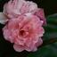 Roosje mijn roosje 2