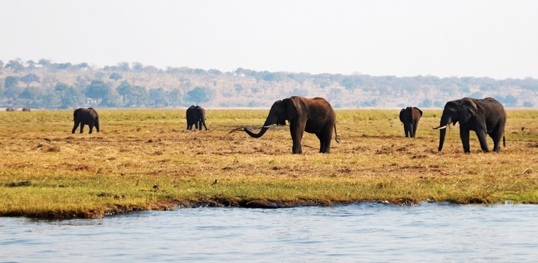Elephants of Chobe